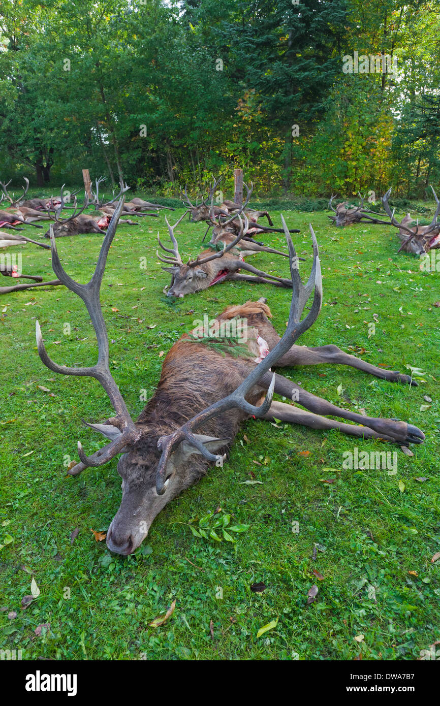 Harvested Red Deer (Cervus elaphus) stags killed and gutted by hunters after the hunt during the hunting season in autumn - Stock Image
