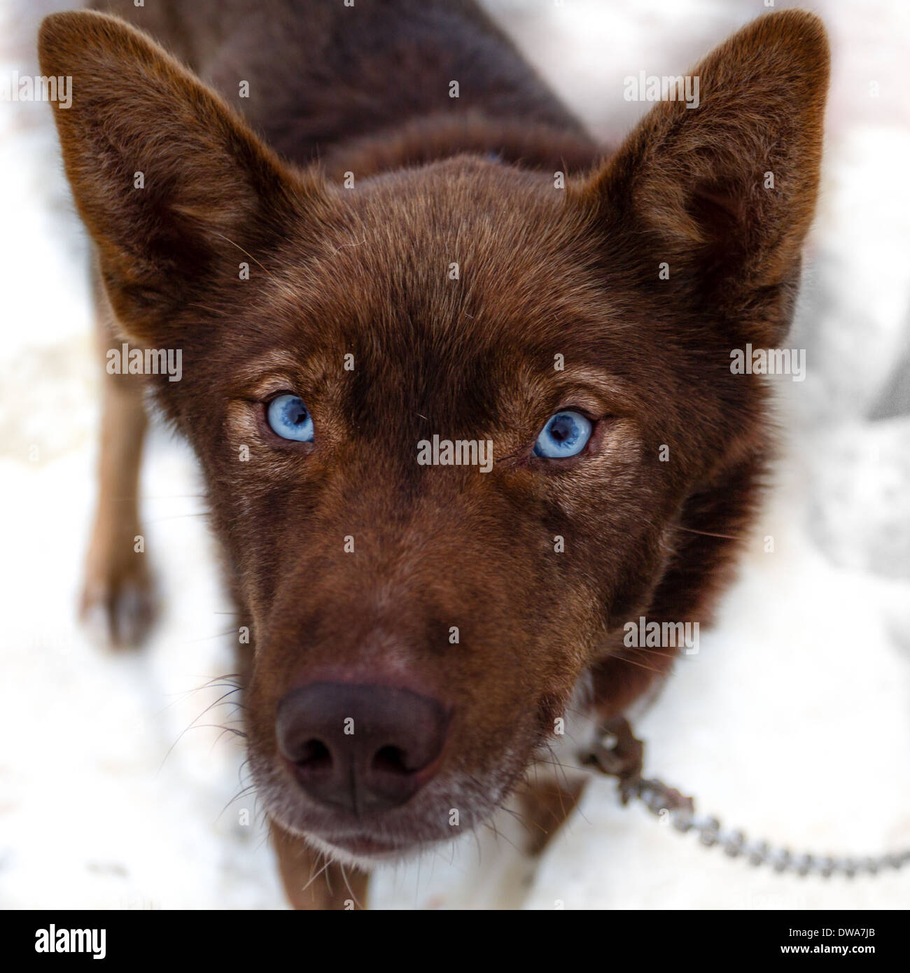 Piercing blue eyes of a working husky - Stock Image