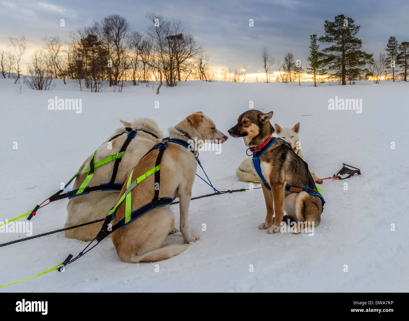 Refusal - dog sledding, Norway - Stock Image