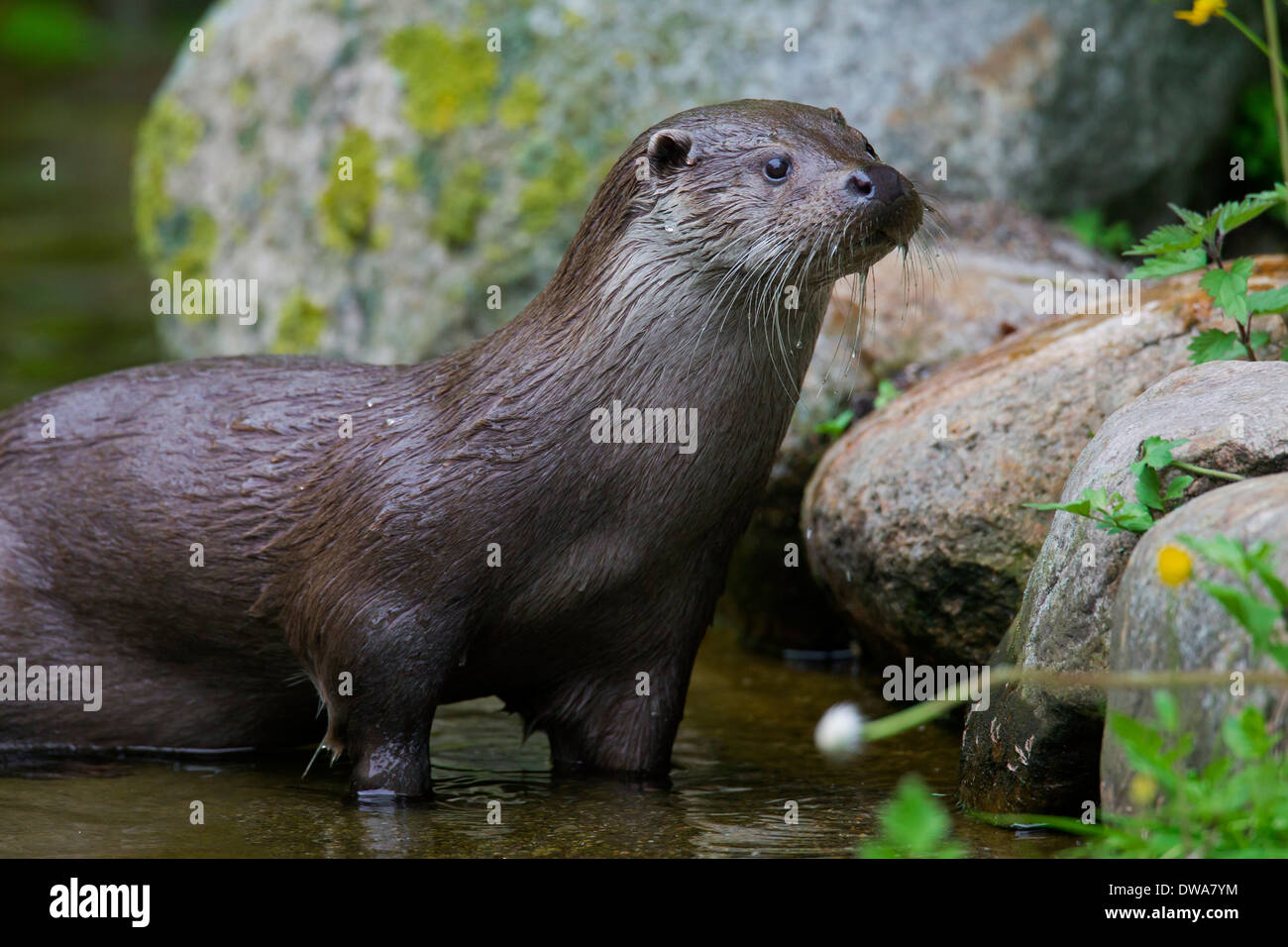 European River Otter (Lutra lutra) foraging along riverbank with rocks - Stock Image