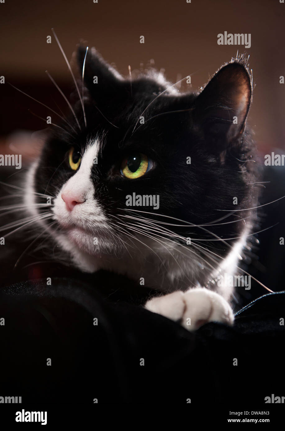 Black and white 'tuxedo' Cat - Stock Image