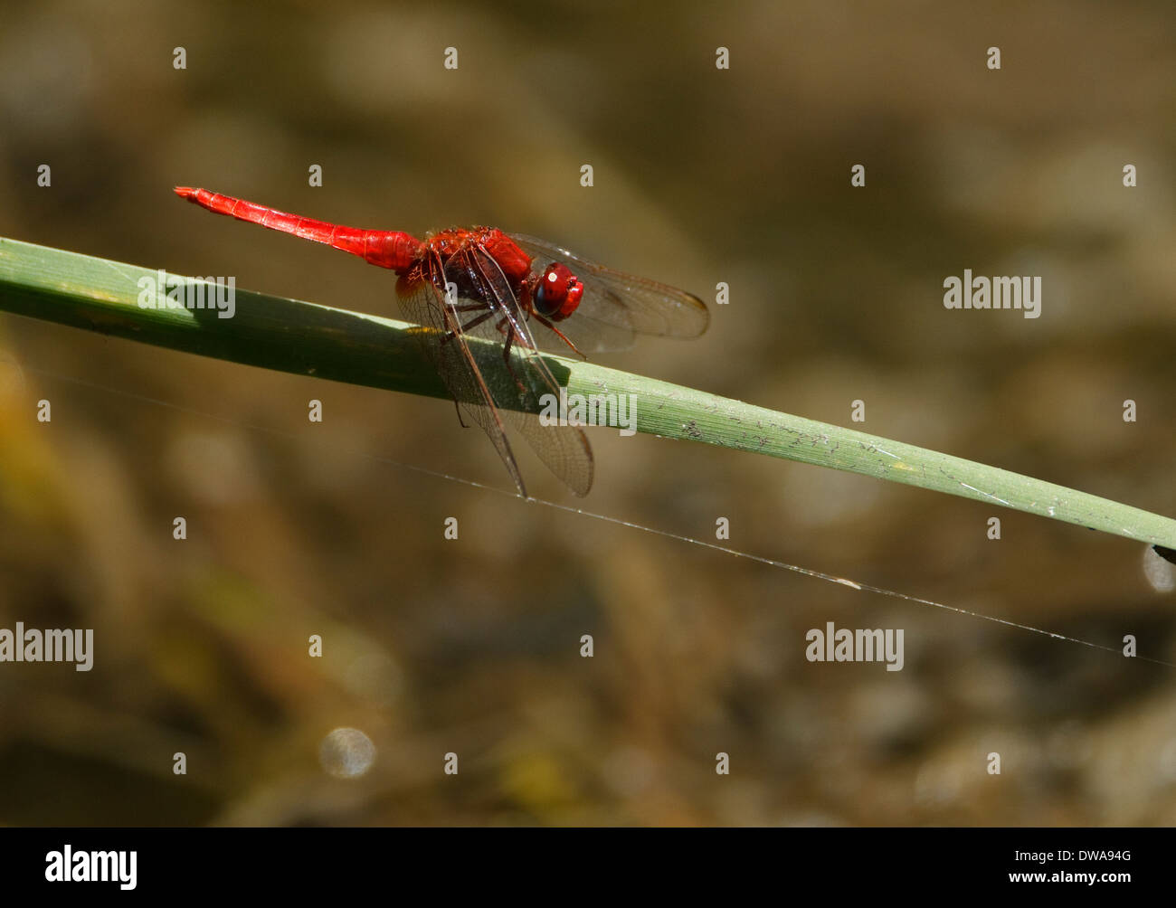 Male Scarlet Darter (Crocothemis erythraea) perched on a straw Kruger national park South Africa Stock Photo