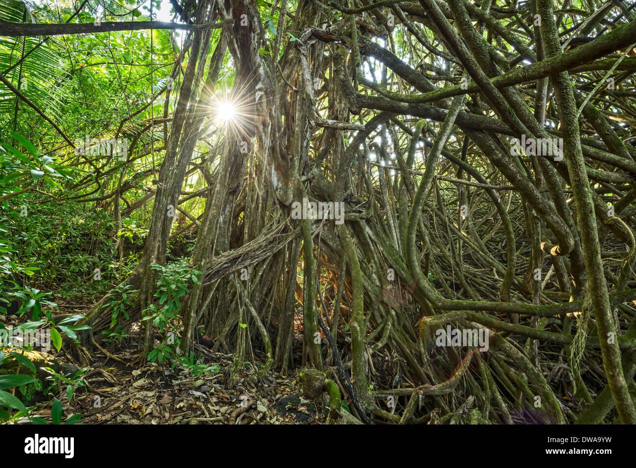 The Jungles of Nahiku on the Hawaiian Island of Maui. - Stock Image