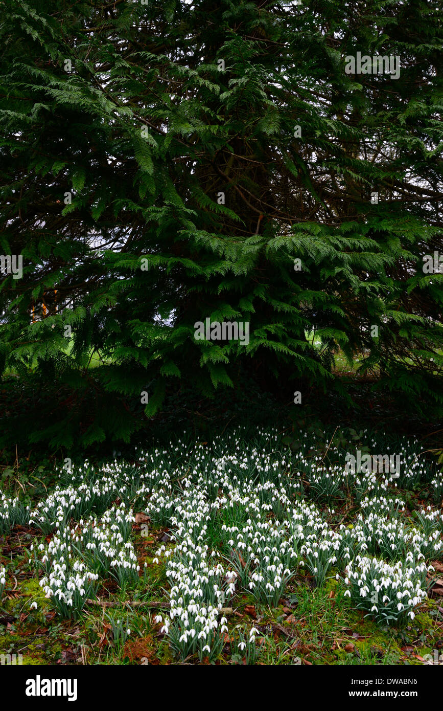 galanthus nivalis snowdrops growing underneath underplanting pine tree conifer conifers - Stock Image