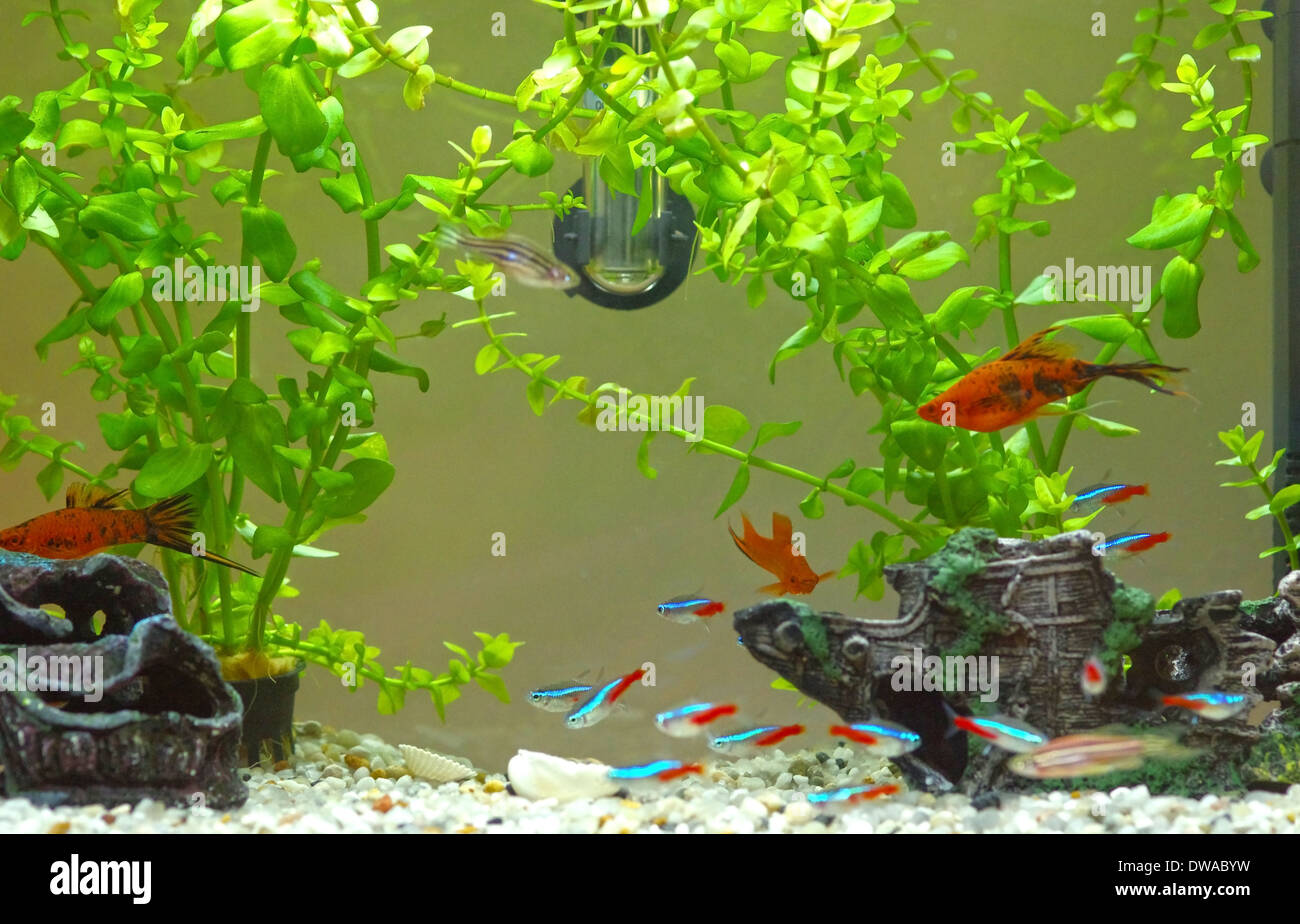 Decorative home aquarium with fishes and plants. - Stock Image