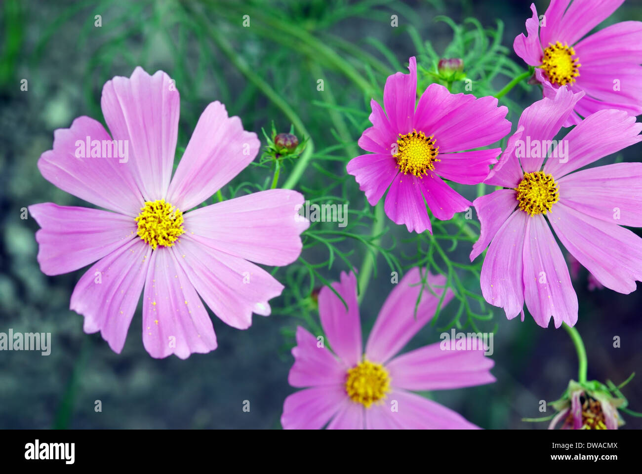 A close up image with lila flowers as background - Stock Image