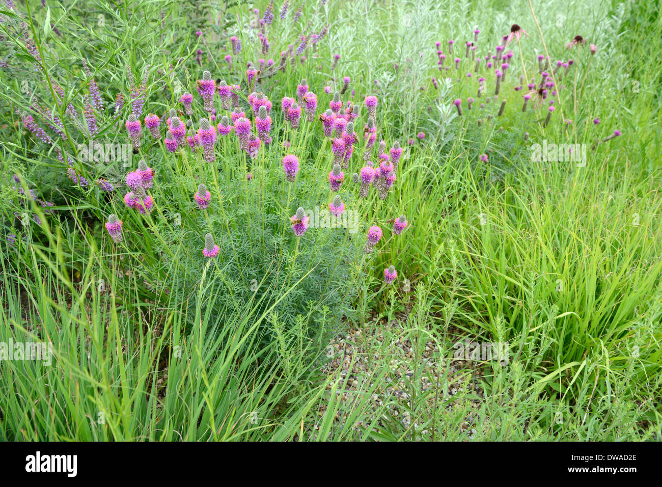 Purple Prairie Clove - Stock Image