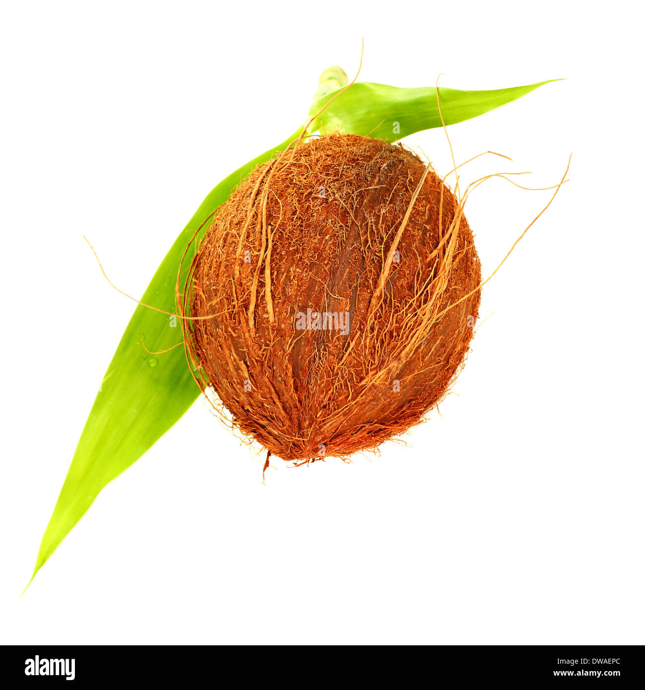 coconut isolated on white background, brown hairy hard tropical