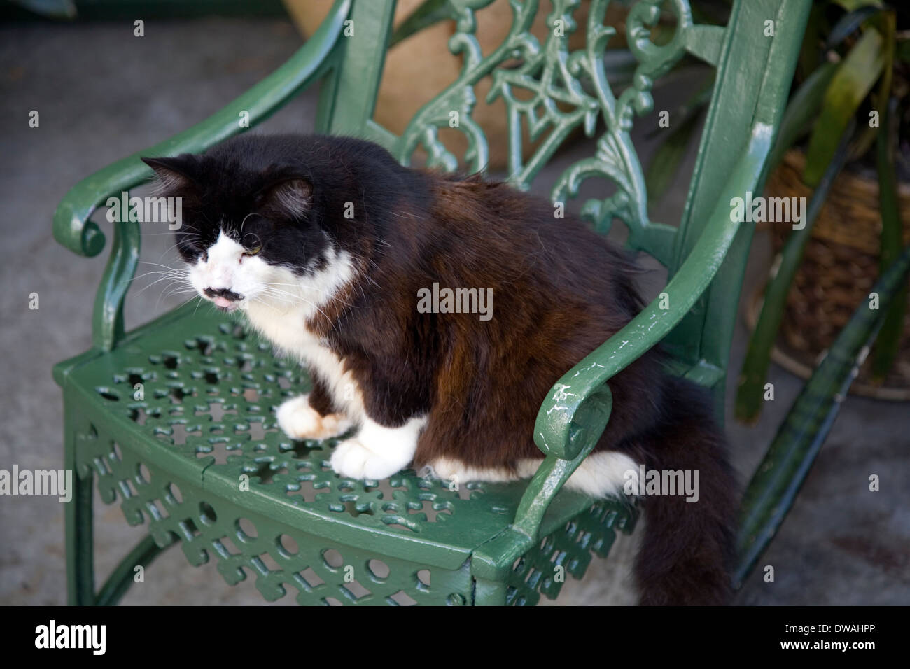 Resident cat at the Ernest Hemingway Home & Museum, Key West, Florida, USA Stock Photo