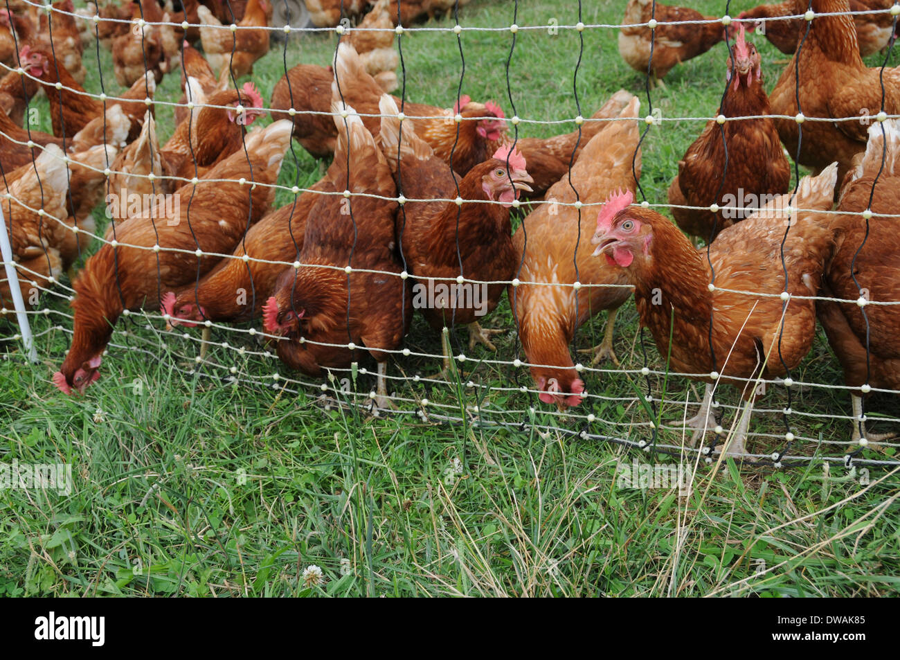 Free Range Chickens Fence Stock Photos & Free Range Chickens