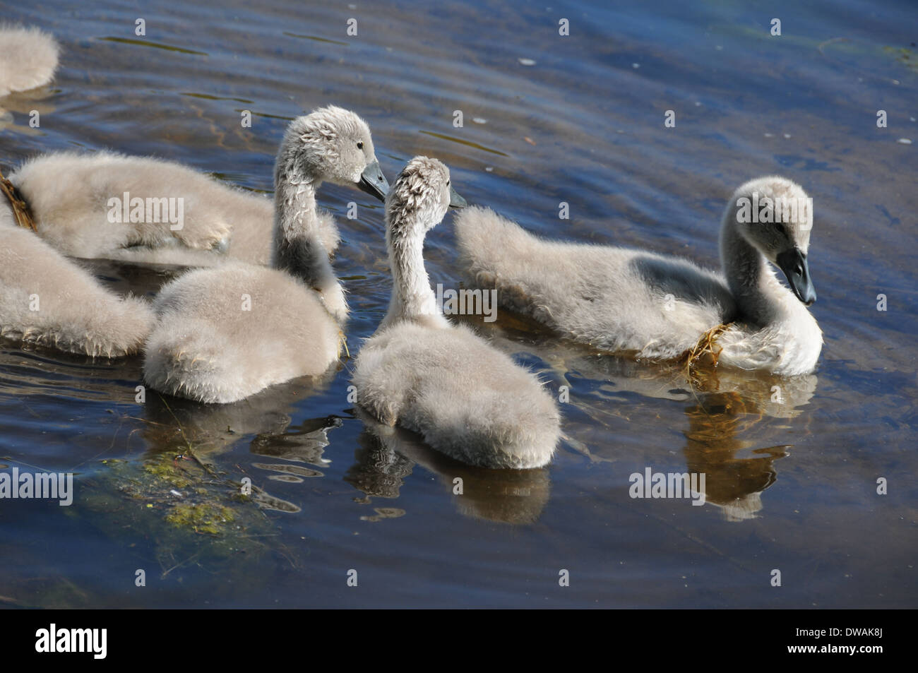 Cygnet Baby Swans Swimming Together on a Lake Stock Photo