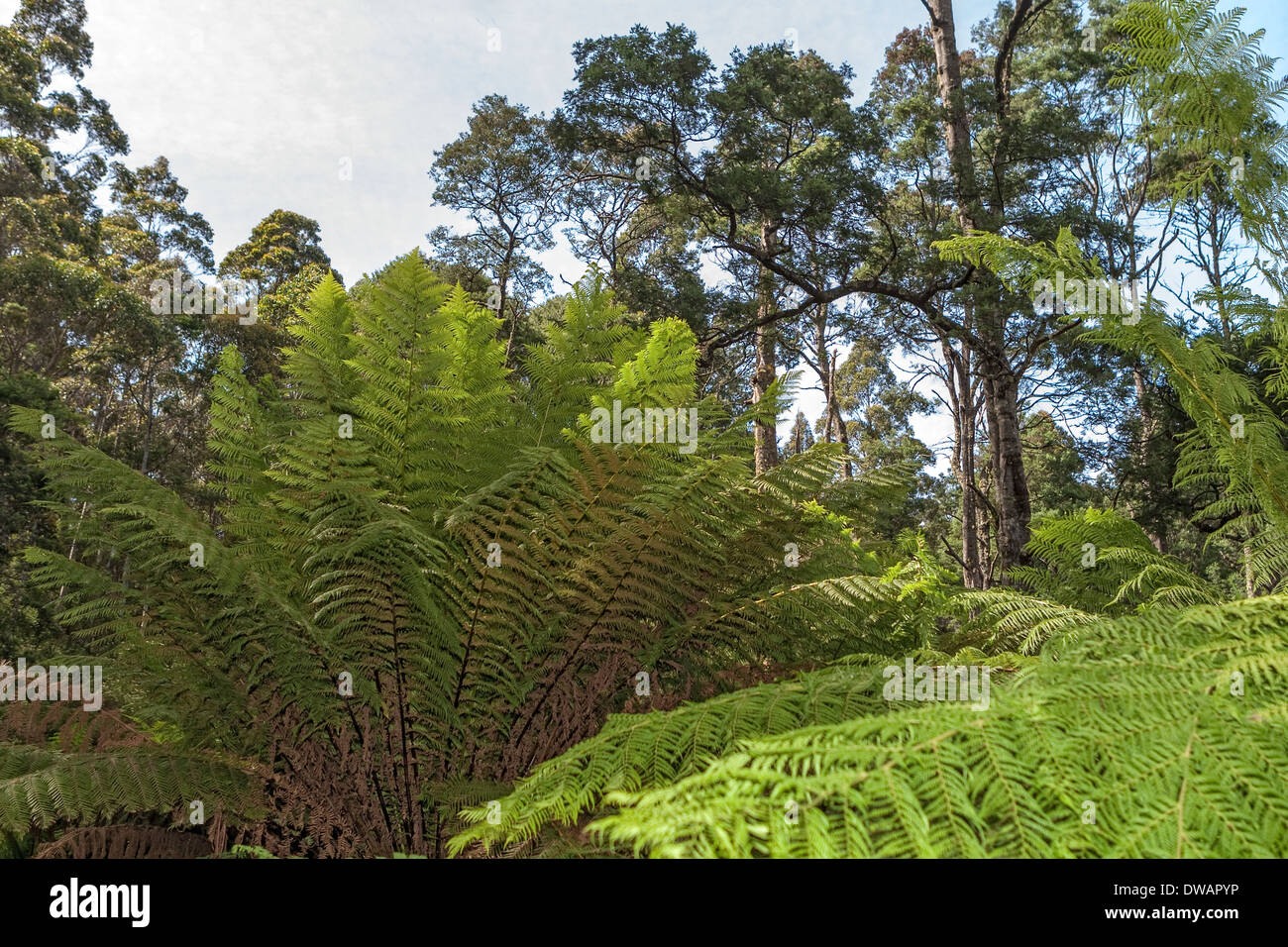 The Blue Tier Forest Reserve near St Helen's Tasmania Australia - Stock Image