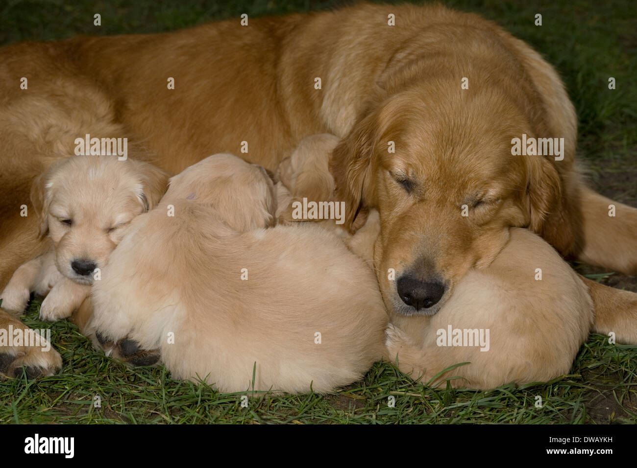 Litter Of 6 Week Old Golden Retriever Puppies Show Their Hardiness By Stock Photo Alamy