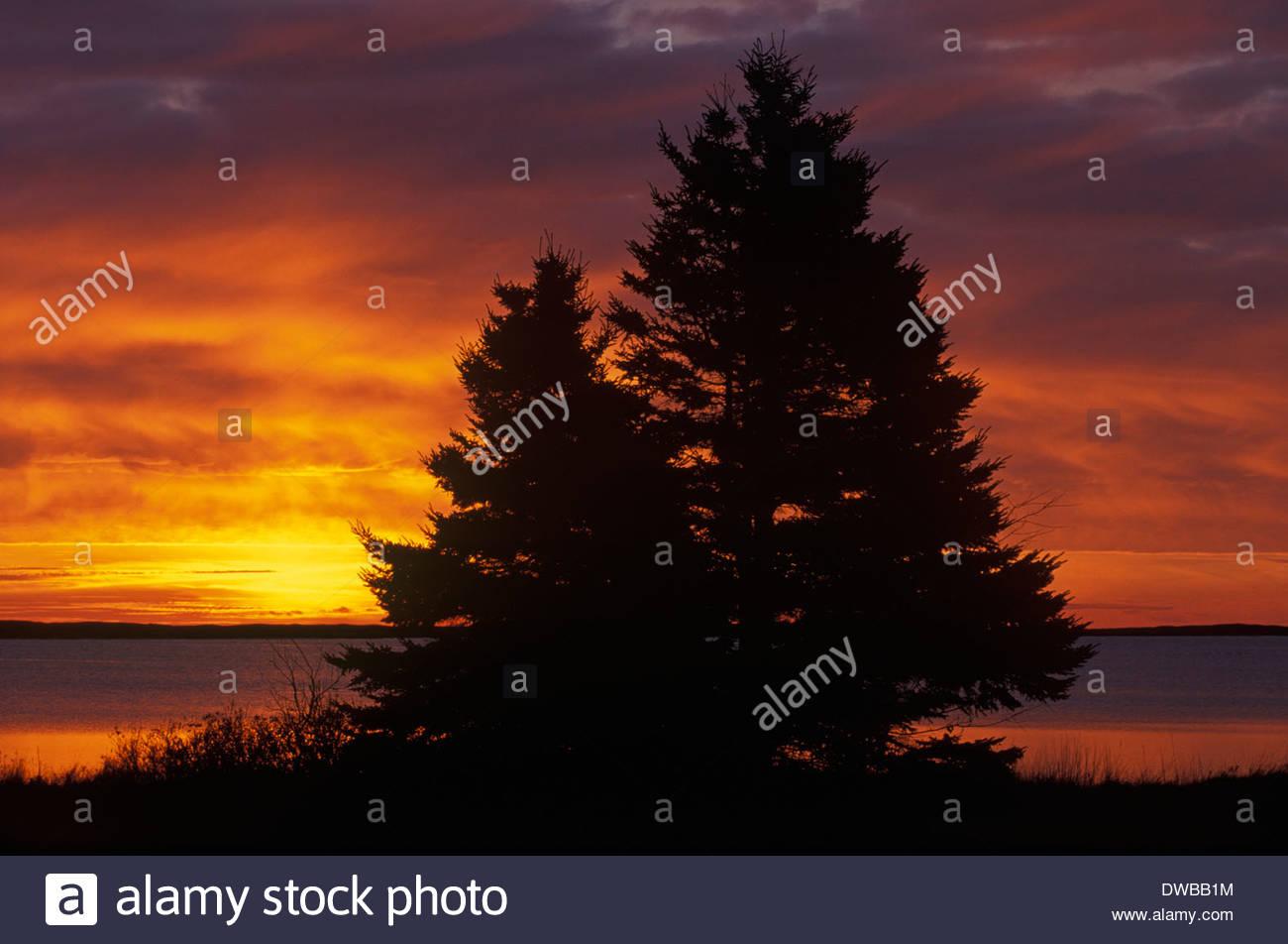 Spruce tree at sunrise, Kouchibouguac National Park, New Brunswick, Canada - Stock Image