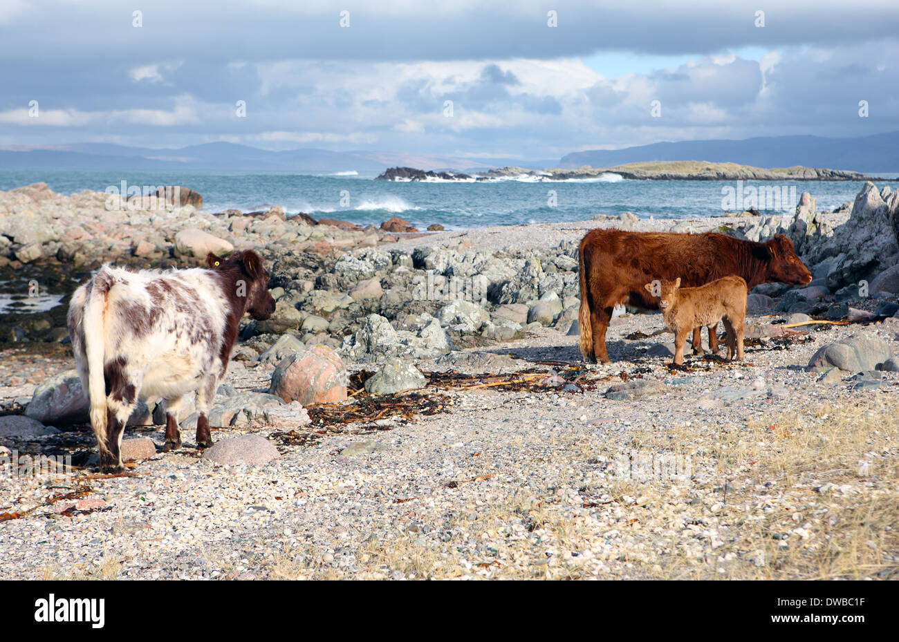 Cows with calf on a north beach on the Isle of Iona in the Inner Hebrides of Scotland - Stock Image