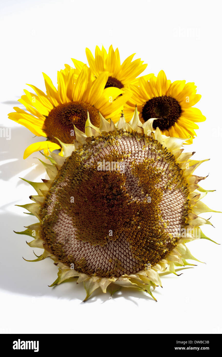 Withered and fresh sunflowers (Helianthus annuus), studio shot - Stock Image