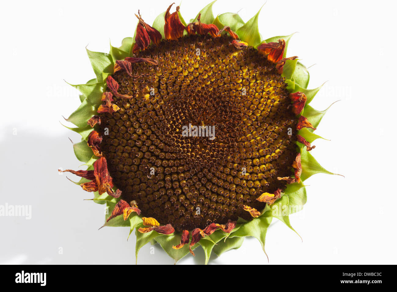 Withered sunflower (Helianthus annuus), studio shot - Stock Image