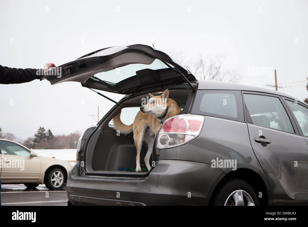 Cross bred alsatian dog in car boot - Stock Image