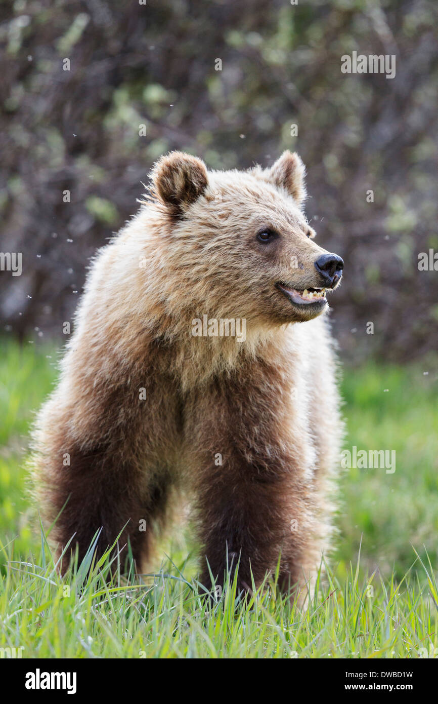Canada, Alberta, Jasper and Banff National Park, Young Grizzly bear - Stock Image