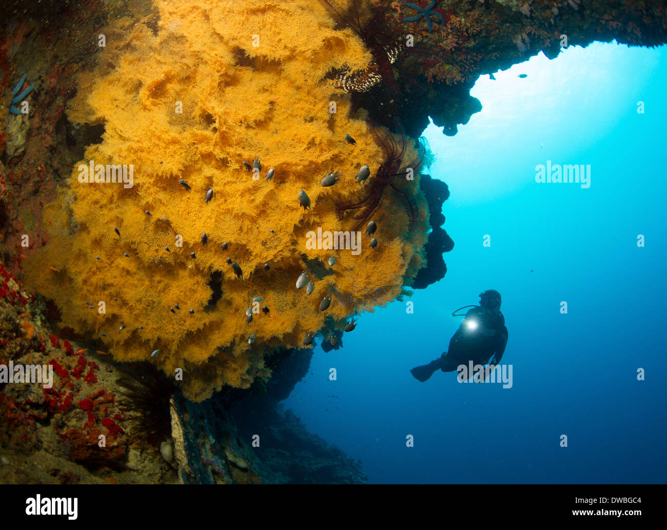Diver and Black coral. - Stock Image
