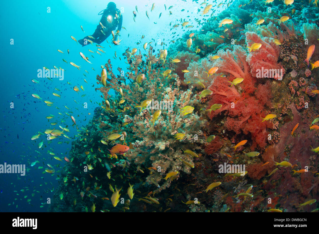 Diver and coral reef. - Stock Image