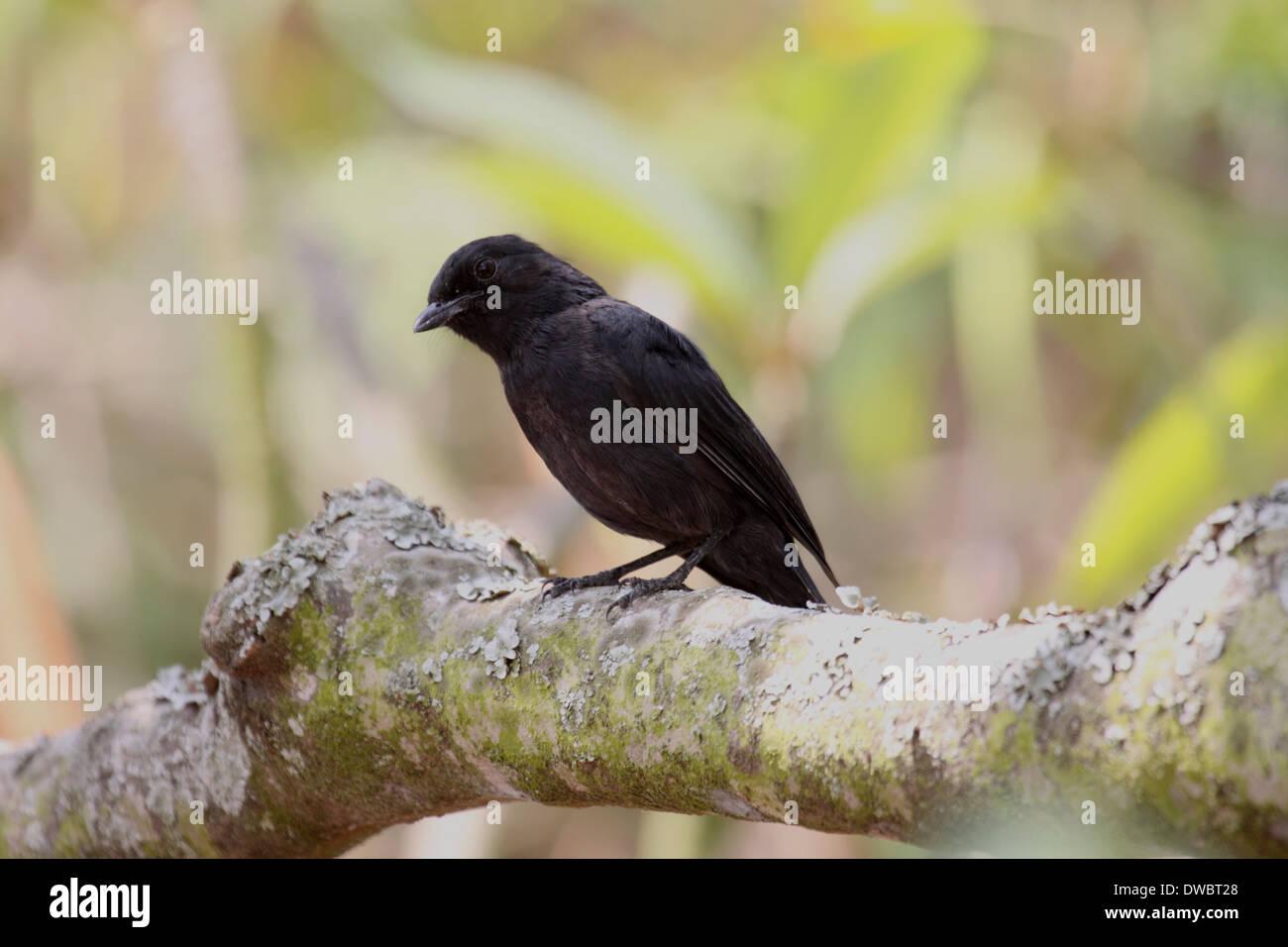 Northern black flycatcher in Uganda - Stock Image