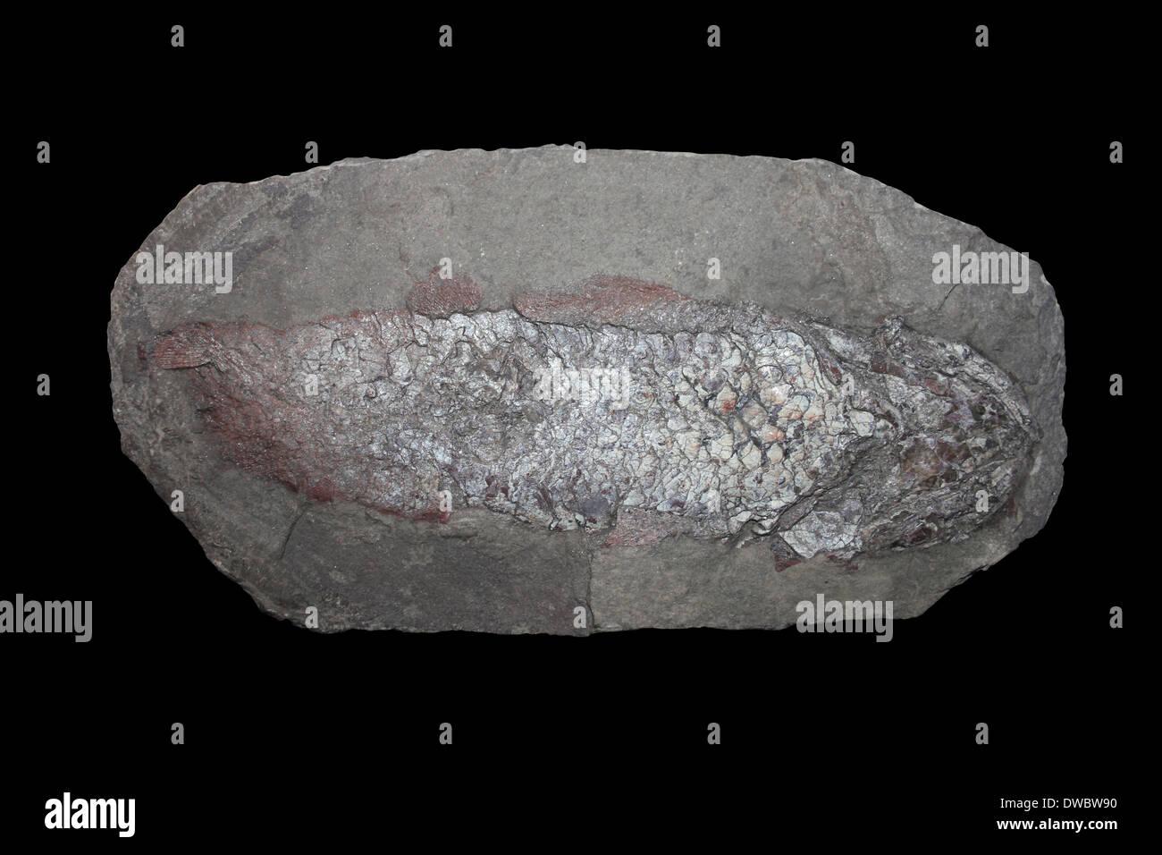 Dipterus Fossil Fish, Tynet Burn, Banff, Scotland Devonian Period - Stock Image