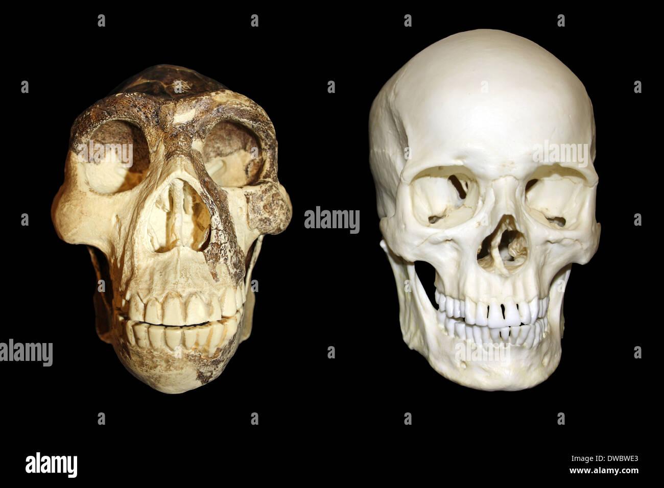 Zhoukoudian (Choukoutien) Homo erectus Skull vs Modern Homo sapiens Skull - Stock Image
