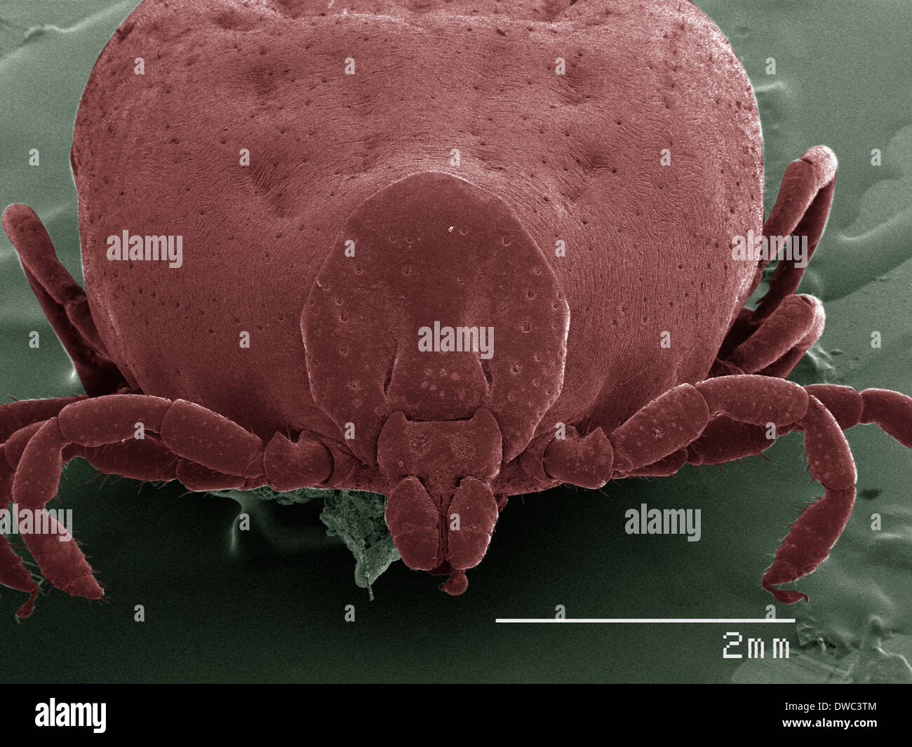 Coloured SEM of tick, front view - Stock Image