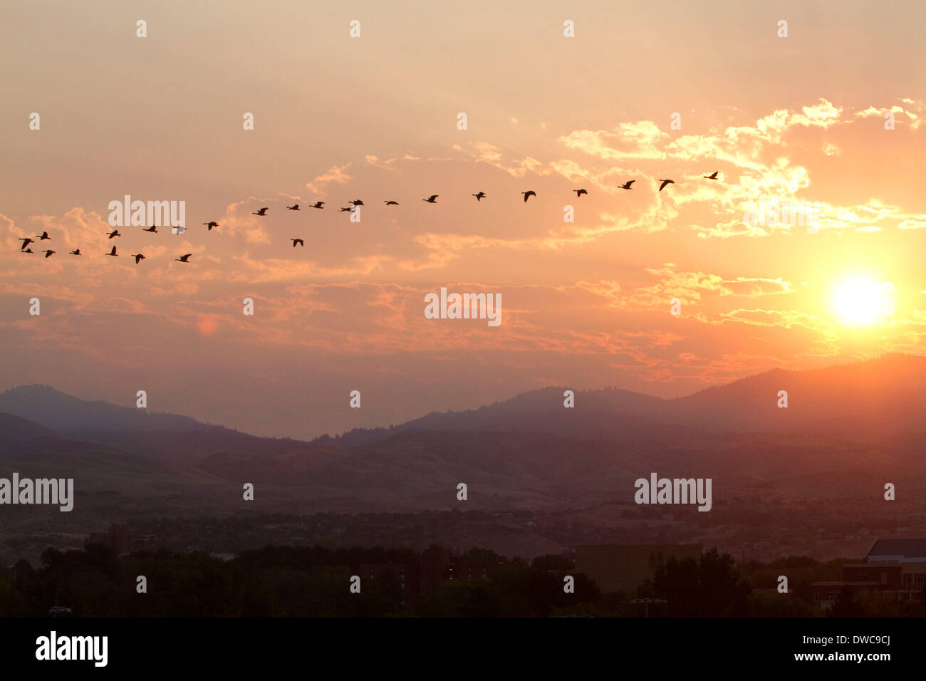A flock of geese fly at sunrise in Boise, Idaho, USA. - Stock Image