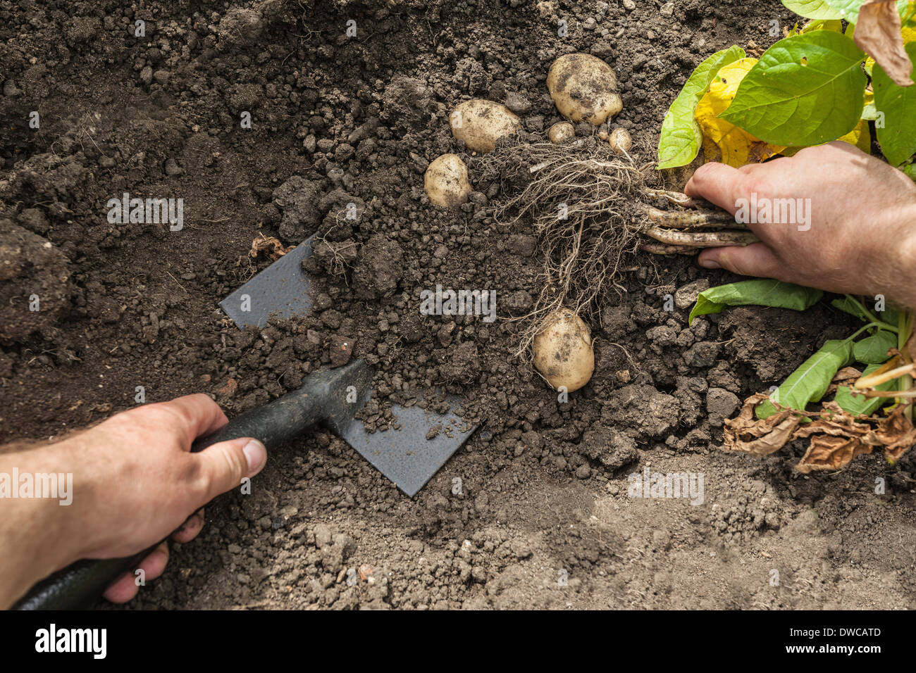 Mature man digging up potatoes from garden - Stock Image