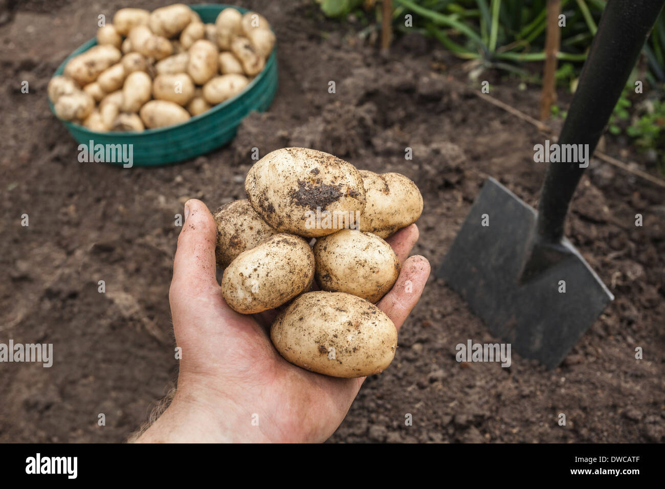 Mature man holding potatoes harvested from garden Stock Photo
