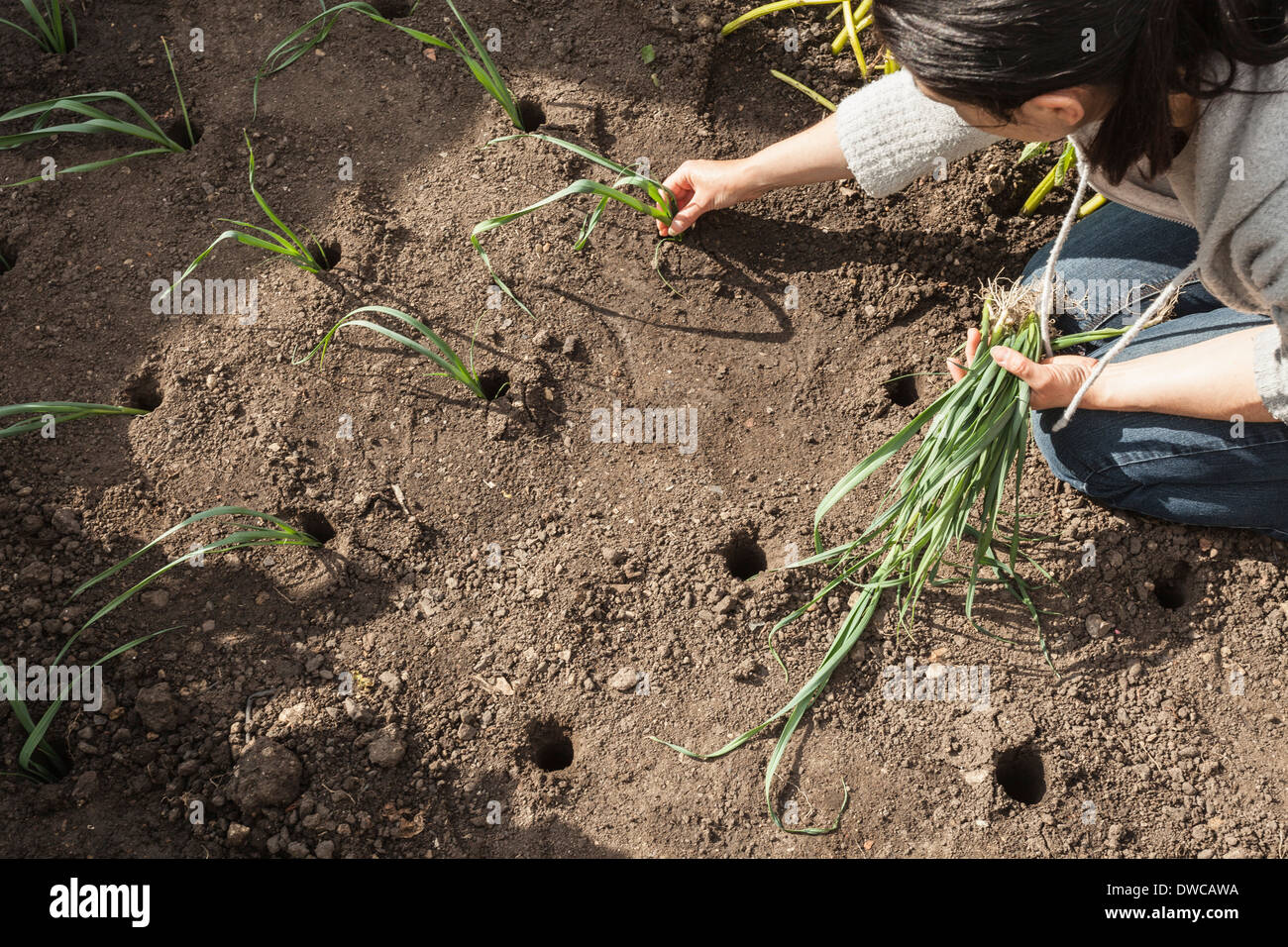 Mature woman planting spring onions in allotment - Stock Image