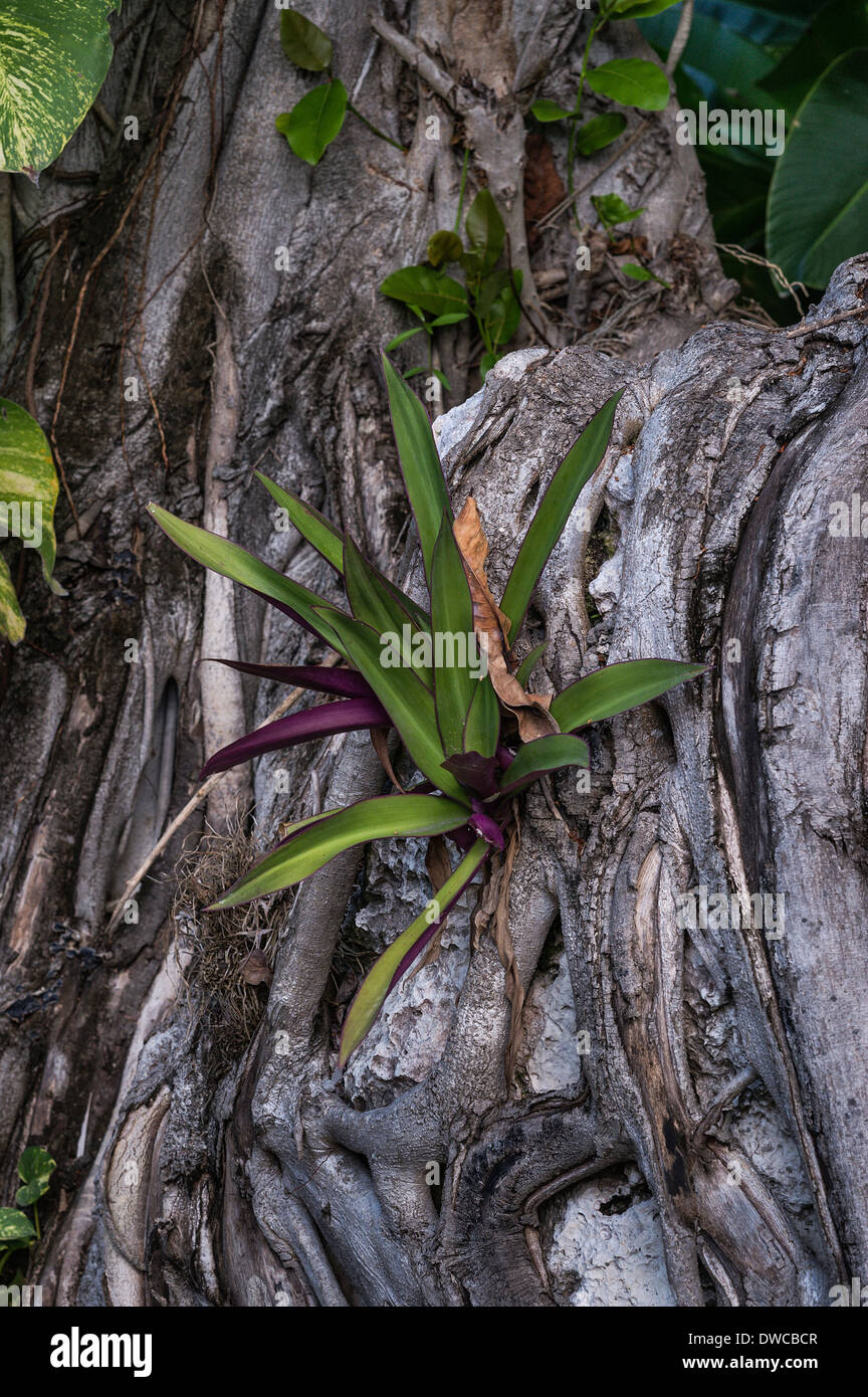 Tropical plant growing out of crevice in tree roots, Jamaica - Stock Image