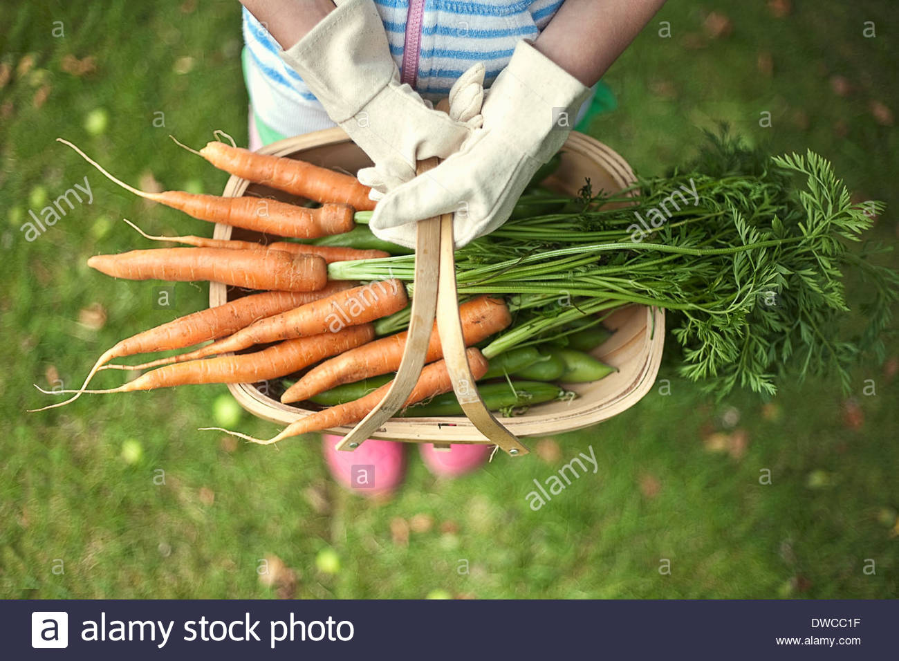 Garden trug of carrots - Stock Image
