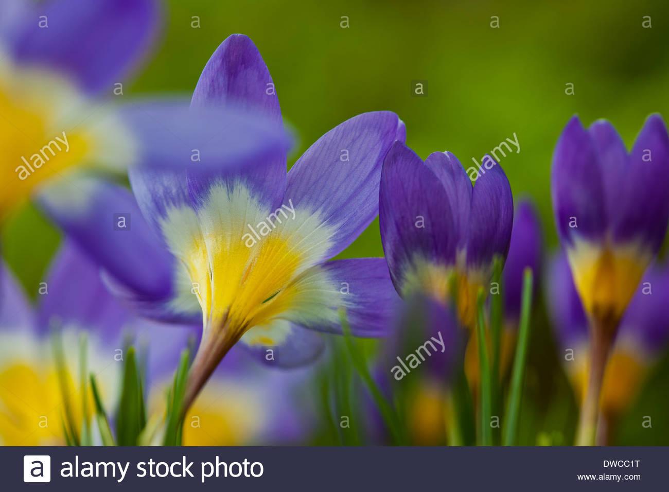 Sieber S Crocus Sieberi Tricolor Spring Flower Bulb Flowers Blooms