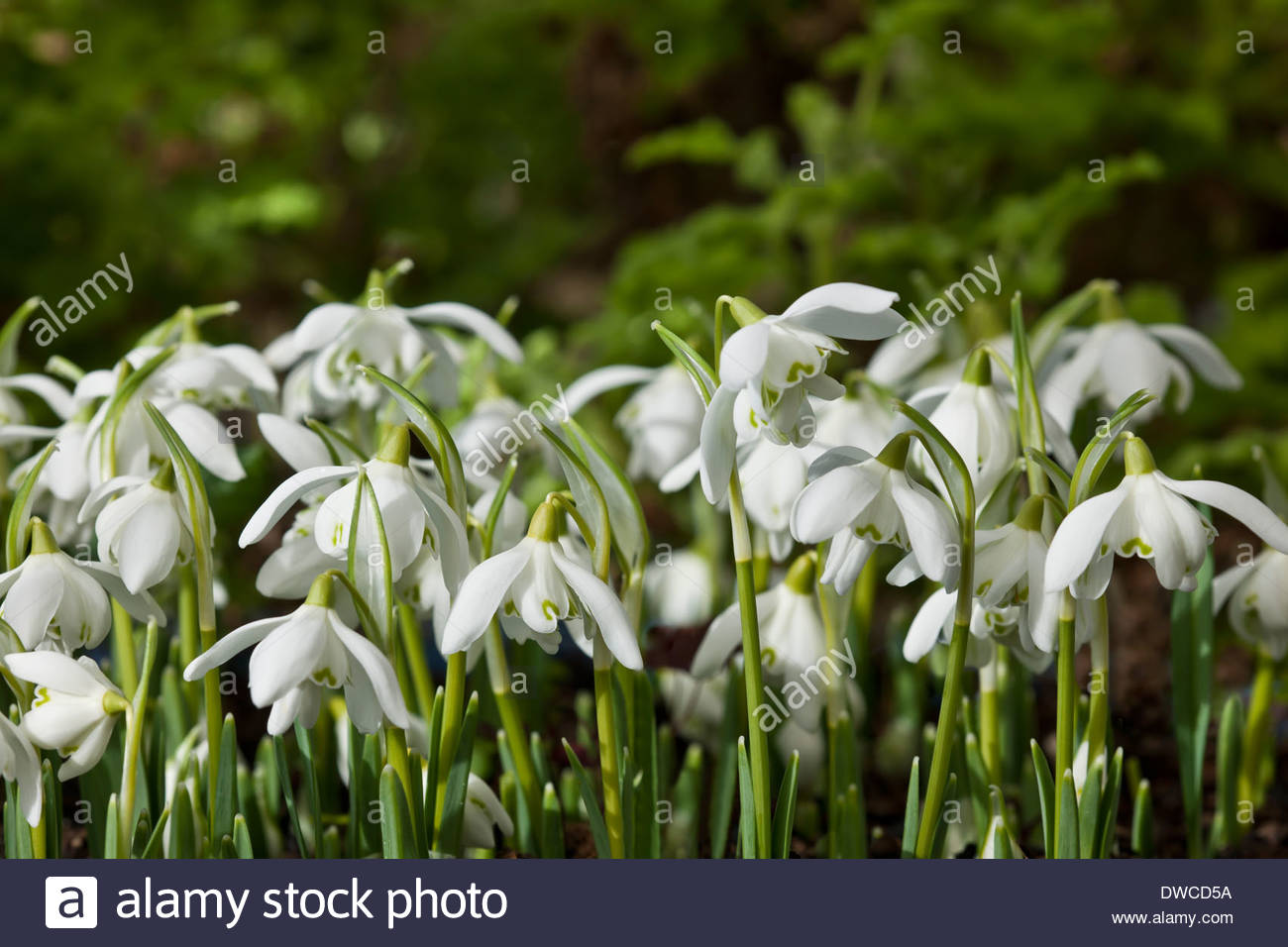 Double Snowdrop Galanthus Nivalis Stock Photos Double Snowdrop