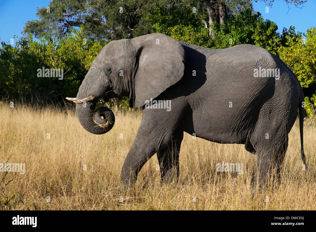 A copy of adult elephant walks near Savute Elephant Camp by Orient Express in Botswna in Chobe National Park . May Stock Photo