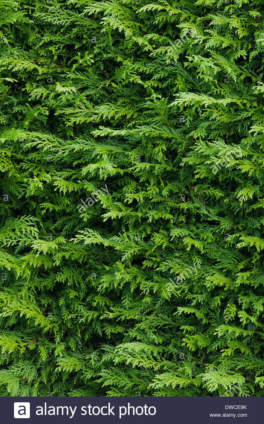 × Cuprocyparis leylandii leyland cypress hedge evergreen tree hedging detail green close-up closeup leaves garden plant - Stock Image