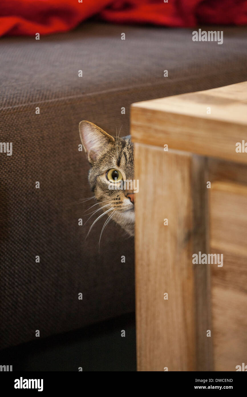 Shy but curious domestic tabby cat peeking from behind furniture in living room in house - Stock Image
