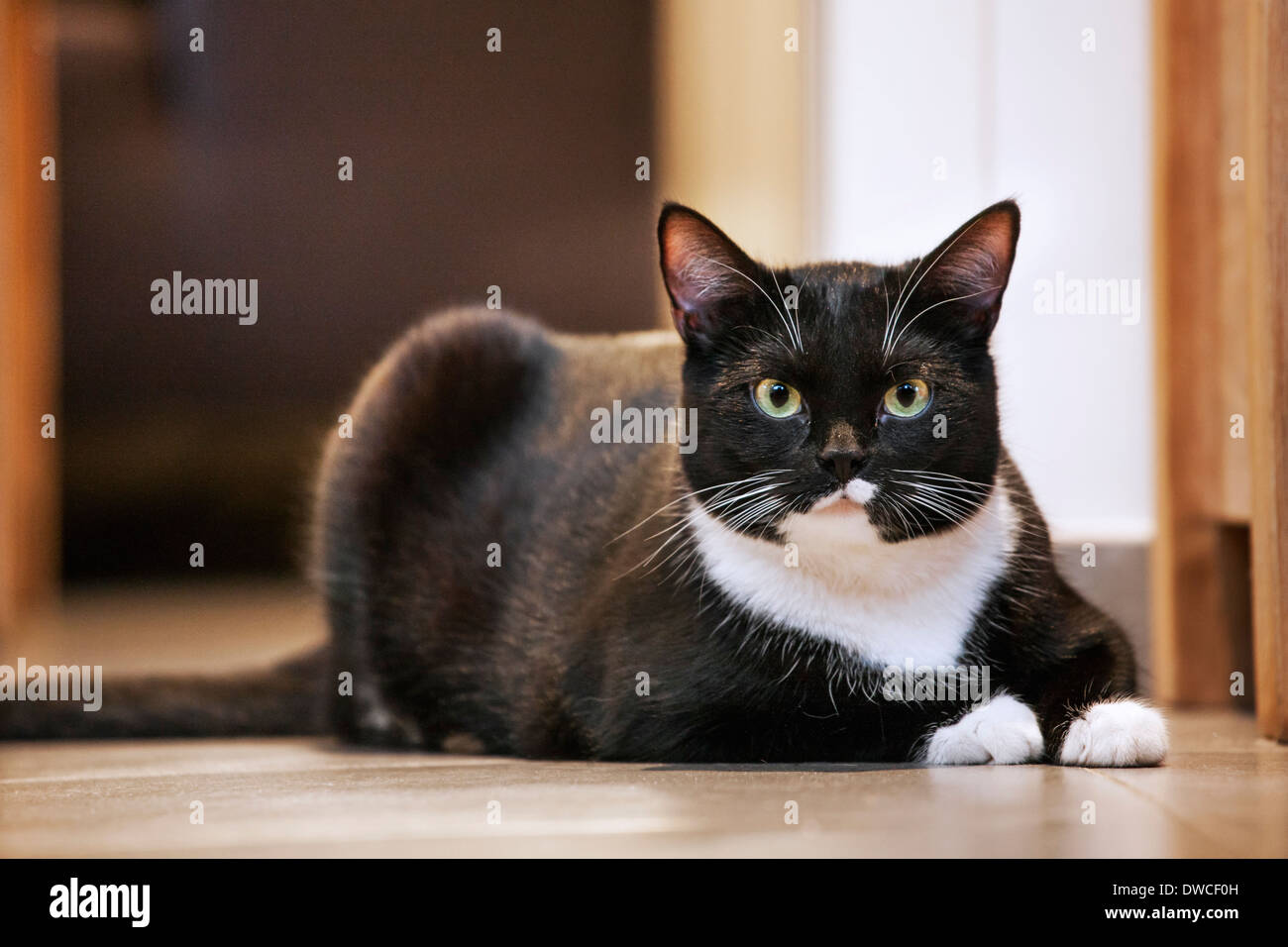 Portrait of tuxedo cat, bicolor domestic cat with a white and black coat resting on the floor in house - Stock Image