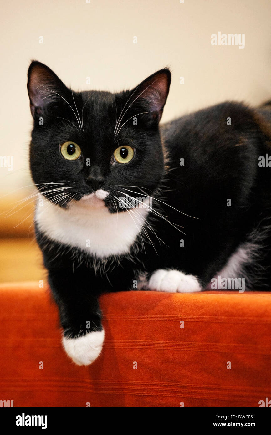 Close up of tuxedo cat, bicolor domestic cat with a white and black coat resting on furniture in living room in Stock Photo