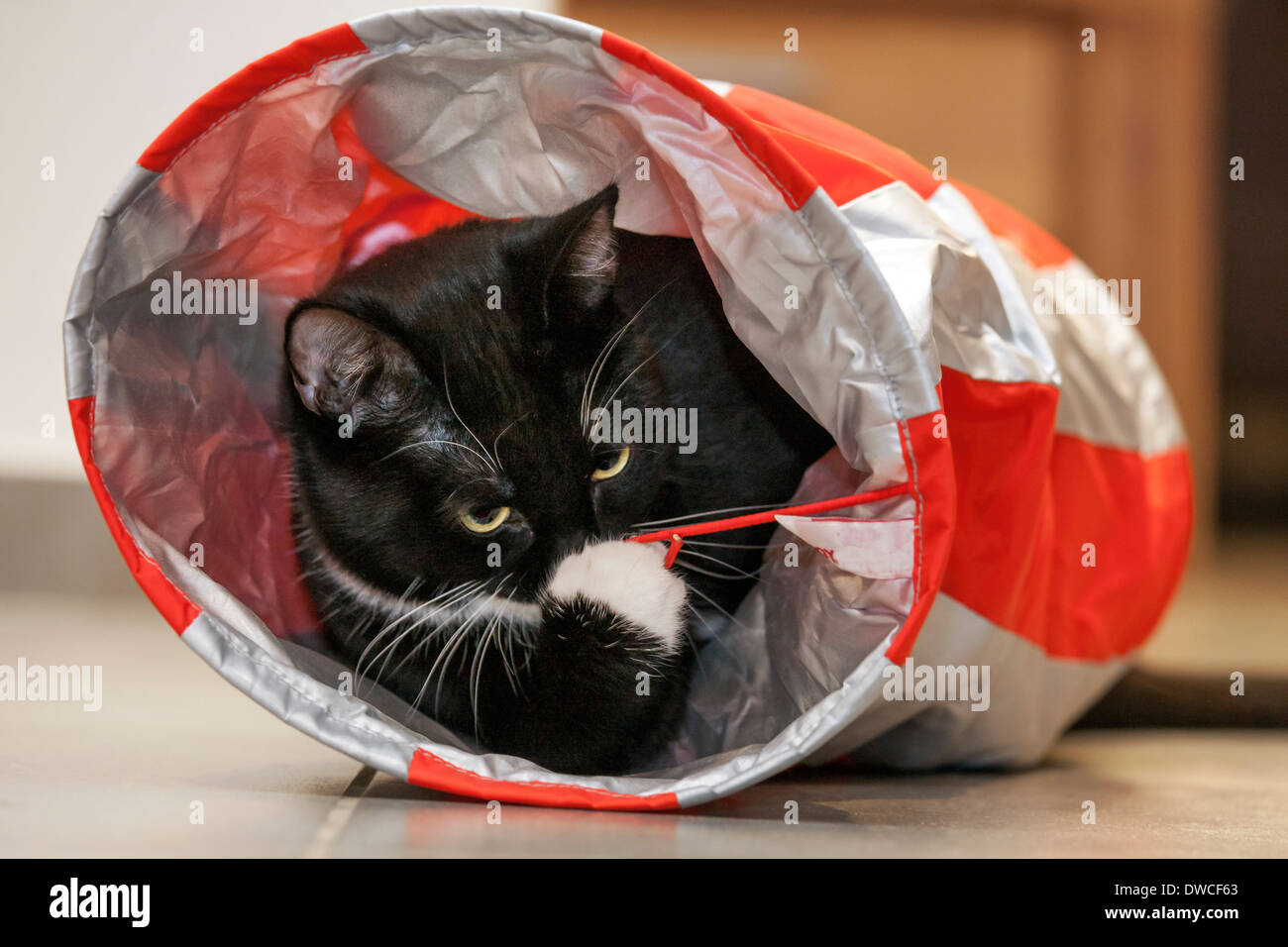 Close up of tuxedo cat, bicolor domestic cat with a white and black coat playing inside bag toy - Stock Image