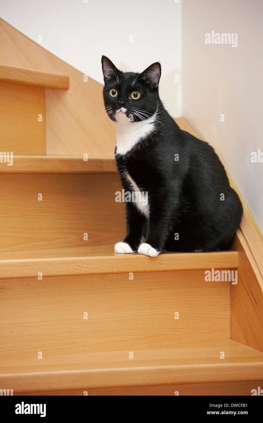 Portrait of tuxedo cat, bicolor domestic cat with a white and black coat sitting on the stairs - Stock Image