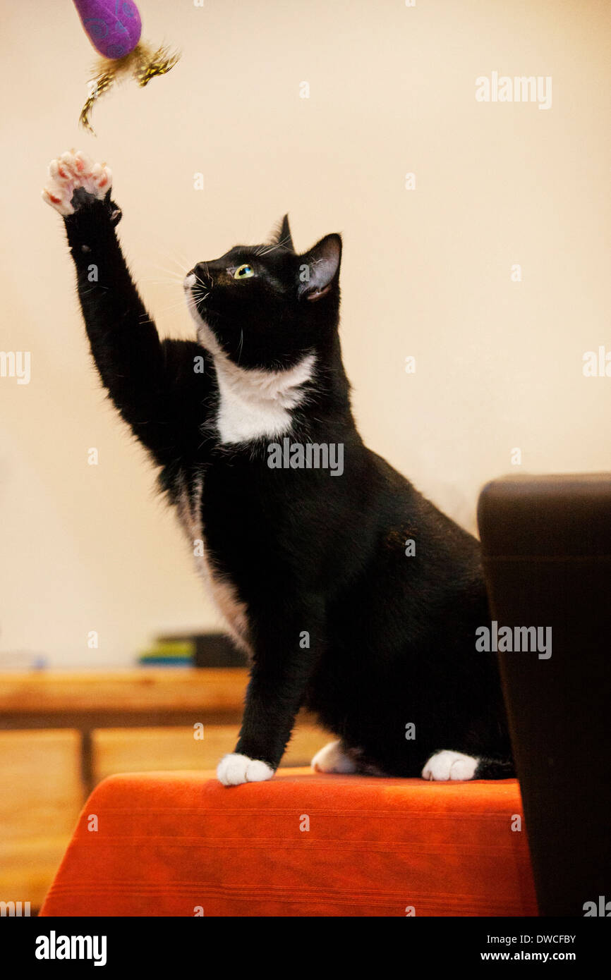 Tuxedo cat, bicolor domestic cat with a white and black coat playing with toy in house - Stock Image