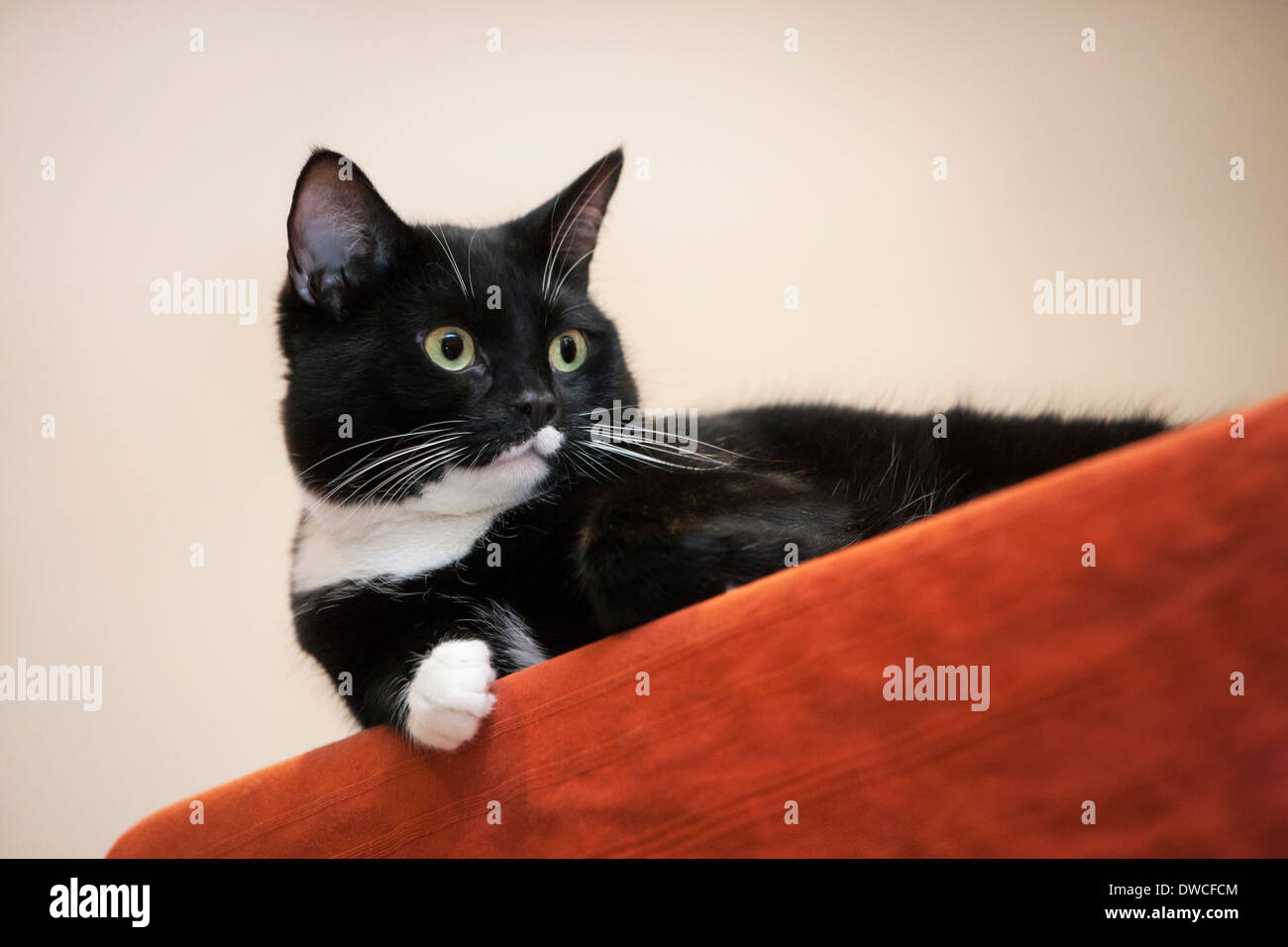 Close up of tuxedo cat, bicolor domestic cat with a white and black coat resting on furniture in living room in house - Stock Image