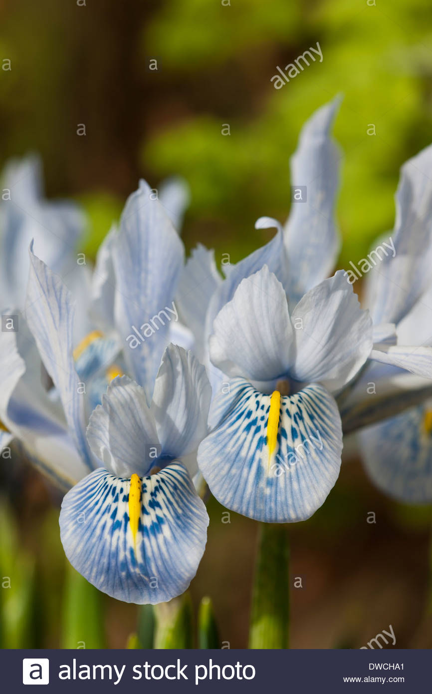 Iris histrioides sheila ann germaney early flower spring bulbs stock iris histrioides sheila ann germaney early flower spring bulbs february pale blue flowers blooms blossoms garden plant close up mightylinksfo
