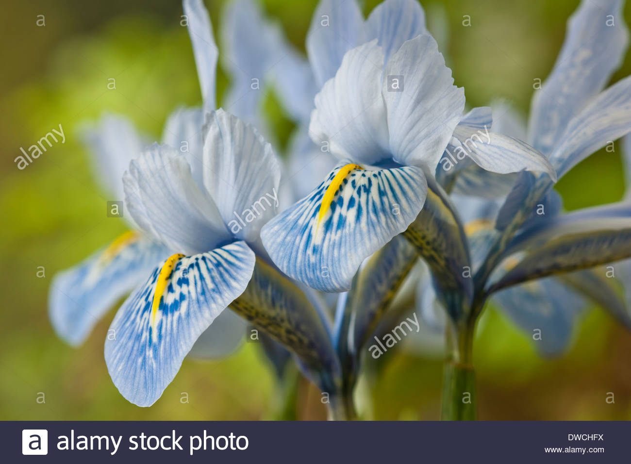 Early spring blue flowers iris stock photos early spring blue iris histrioides sheila ann germaney early flower spring bulbs february pale blue flowers blooms blossoms garden mightylinksfo