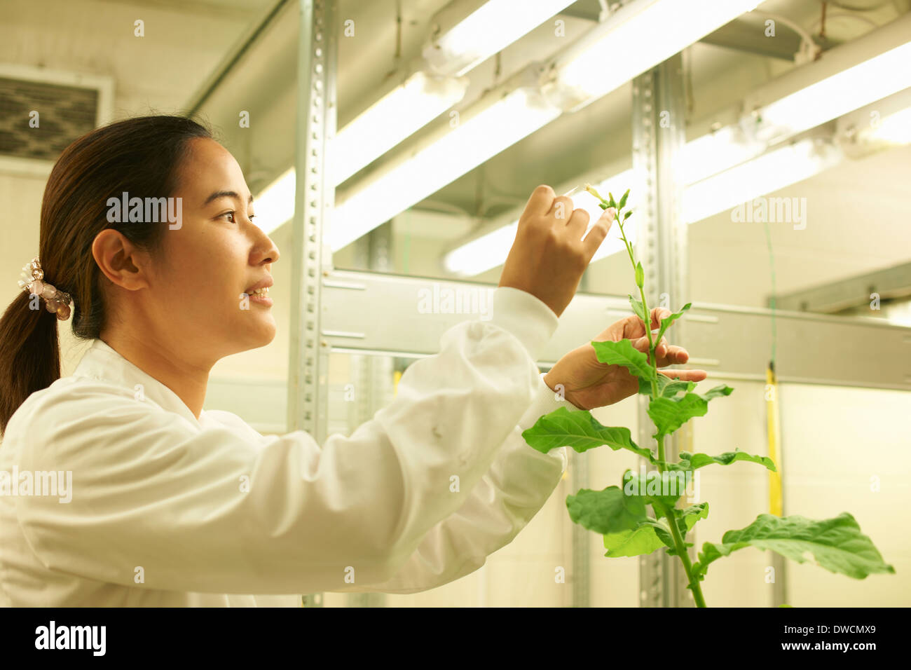 Female scientist picking sample from plant - Stock Image