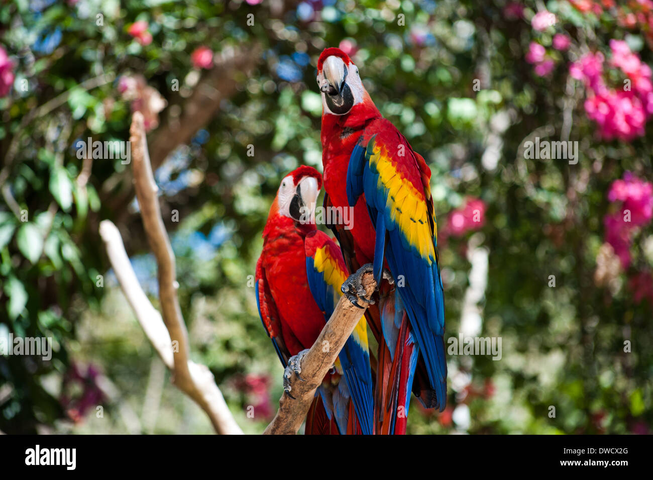 A pair of Scarlet Macaws at Macaw Mountain Bird Park & Nature Reserve in Honduras Stock Photo
